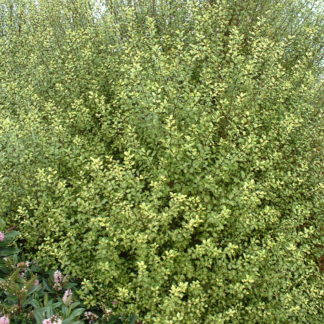 PIttosporum Tandarra Gold